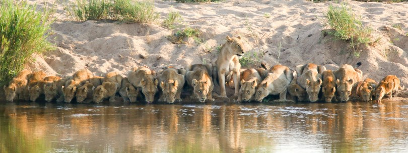 This image has an empty alt attribute; its file name is horizontal-lions-dreamstime_xxl_107516941-1024x385.jpg
