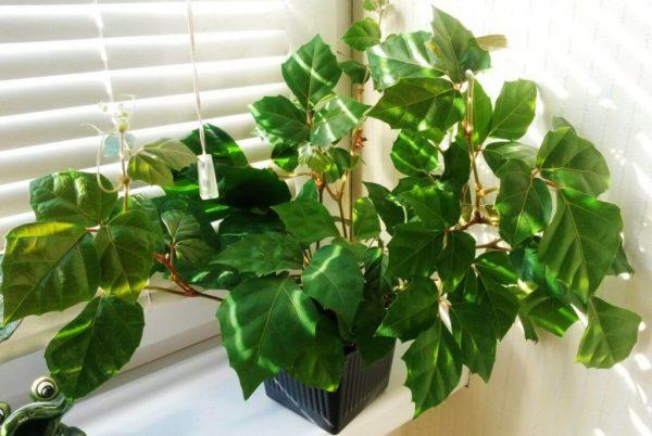 Роициссус или комнатное растение березка. Уход и размножение