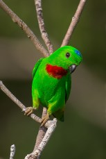 A frontal view of the male. Very vivid green plumage, with a blue crown patch and red throat/breast area. In any patch of greenery where these parrots are found, it is always easier to find the more conspicuous male.