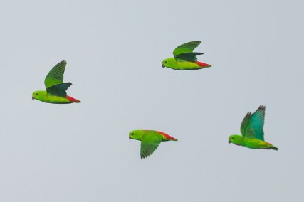 A composite flight shot of a single female and an out of focus male. You can see side by side the difference in vividness of their green plumage. They are remarkably difficult to photograph in flight.