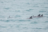 A pod of 6 dolphins taken on 23 September 2012.