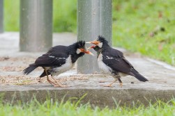 A pair of Pied Myna probably displaying to each other.