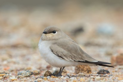 The pratincole was confiding enough to approach, but it kept its eyes on me.