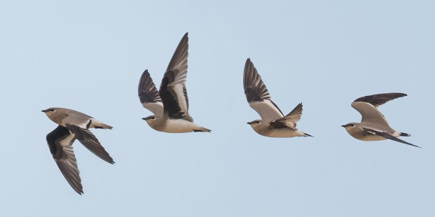 A composite flight shot. The pratincole normally hawk for insects in the air.