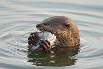 Side view of the otter gnawing at the tilapia.