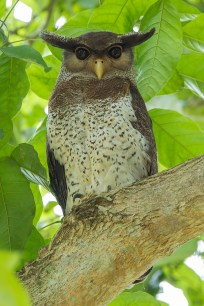 A Barred Eagle-Owl (Bubo sumatranus) at a resort in Johor. It is also listed as a rare visitor to Singapore, although exceedingly hard to find.