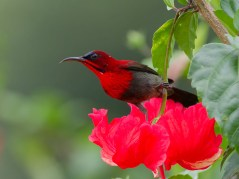 The adult male on a Hibiscus flower. Other than the crimson colouration, it has iridescent dark blue crown, yellow rump and blue tail