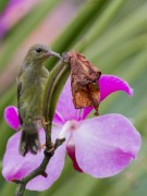 The female on an orchid pod. It is a much duller bird than the male.