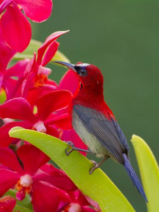 The adult male Crimson Sunbird on an orchid. Taken at Mandai Orchid Garden in 2010.