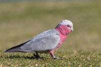 The female is a smaller bird, with pink irises. The Galahs bond for life, so it was foraging with its male mate.