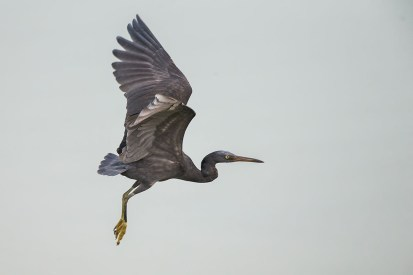 A dark-morph Pacific Reef Heron on lift-off at Seletar Dam, with trailing water droplets.