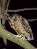 A Sunda Scops Owl perching low in a garden. Taken at night with a torchlight illumination.