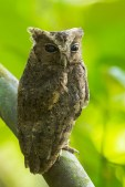 A Sunda Scops Owl looking warily at me, but as it was daytime, it was not very active. There is a small body of water separating it from me.