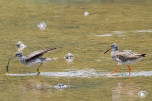 A Grey-tailed Tatttler being chased by a Common Redshank that is after its seaweed. You will immediately notice the difference in leg colour and length. Also, the Tattler has a more prominent dark loral stripe in front of its eye. Lastly the tattler's back and wings are grey coloured without barring.