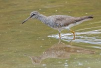 An adult Grey-tailed Tattler from September 2011. It too is in breeding plumage with the underparts barred.