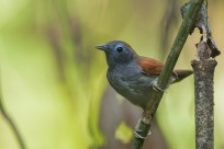 Chestnut-winged Babbler