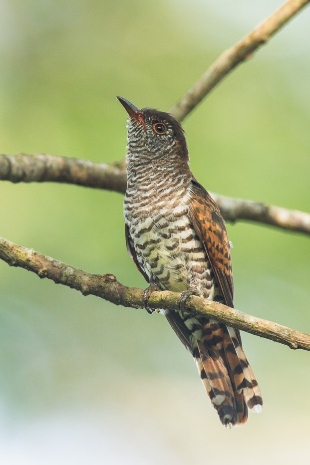 Another view of the young female Violet Cuckoo. It's appearance stands in contrast to the more striking adult male.