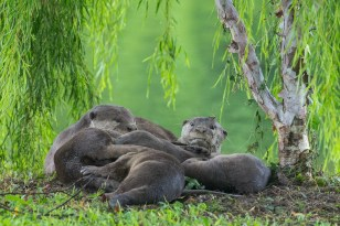 A pile of otters. The young otters are nursing. Papa is on the left and Mama is on the right.