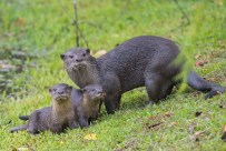 Two little otters and their parent after a swim. Looking warily at the growing crowd.