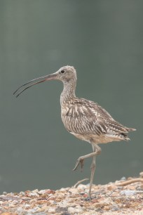 Eurasian Curlew at SBWR