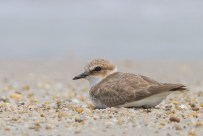 Kentish Plover at Changi Cove