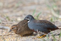 Male and female King Quails at Punggol Barat