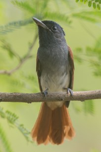 Oriental Paradise Flycatcher at Tuas South