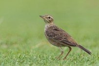 Paddyfield Pipit at NSRCC