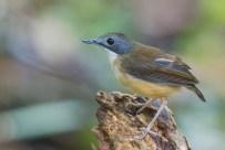 Short-tailed Babbler at Range Link. Photo Credit: Francis Yap