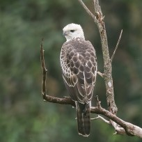 Changeable Hawk-Eagle at MacRitchie Reservoir