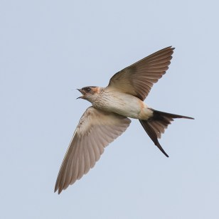 Red-rumped Swallow at Punggol Waterway