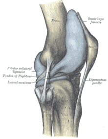 Capsule of right knee-joint (distended). Later...