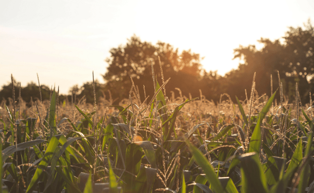 Cornfield at sunset in the summertime