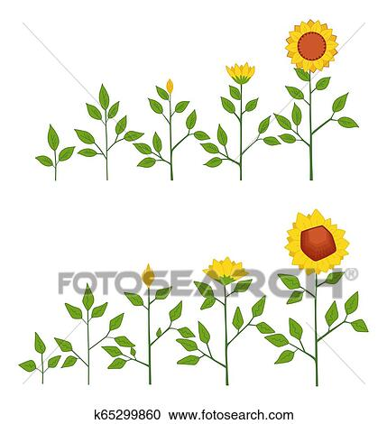 Vector Sunflower Plant Growth Stages Concept Abstract Flower Symbols Isolated On White Background Sunflower Life Cycle Flat Style Clipart K65299860 Fotosearch