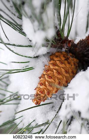 Picture - Snowy pine cone. Fotosearch - Search Stock Photos, Images, Print Photographs, and Photo Clip Art