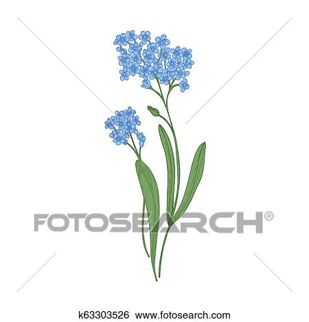 Forget Me Not Flowers Isolated On White Background Detailed Drawing Of Wild Perennial Herbaceous Flowering Plant Hand Drawn Botanical Realistic Vector Illustration In Elegant Vintage Style Clip Art K63303526 Fotosearch