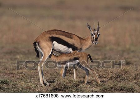 Pictures of Young Thomson's gazelle (Gazella thomsoni) suckling mother, Kenya x17681698 - Search ...