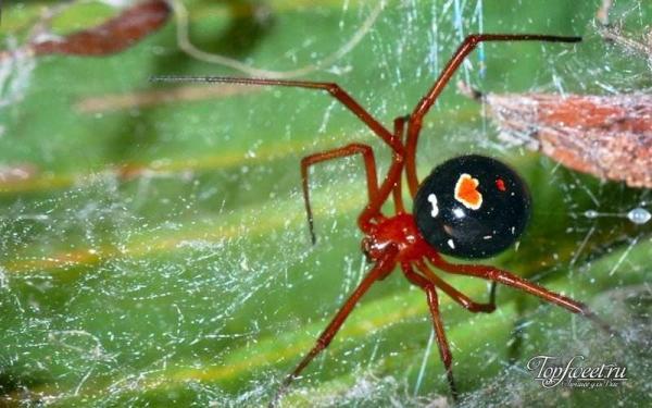 Самые опасные пауки мира.