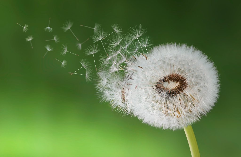 Dandelion Seeds Blowing in a Breeze
