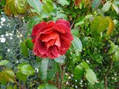 Hot Chocolate Rose (my fav)