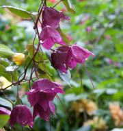 Rhodochiton 'Purple Bells'