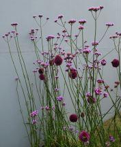 Alliums / Verbena