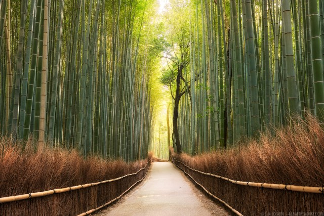 Warm sunlight shines brilliantly through the extraordinary Sagano Bamboo Forest near Kyoto Japan.