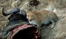 Leopard eating water buffalo