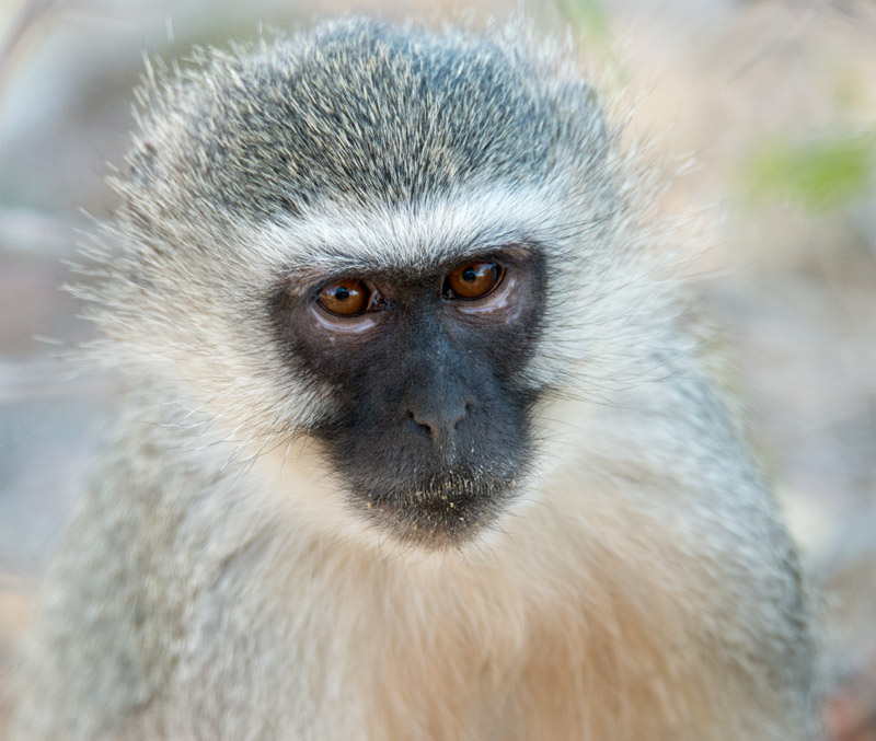 Vervet monkey. Nikon d800 + Tamron SP AF 150-600mm, 460mm @ f/8, 1/500 second, ISO2,800