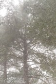 Pine trees in snow
