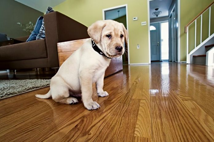 Yellow Labrador Retriever puppy in his new home