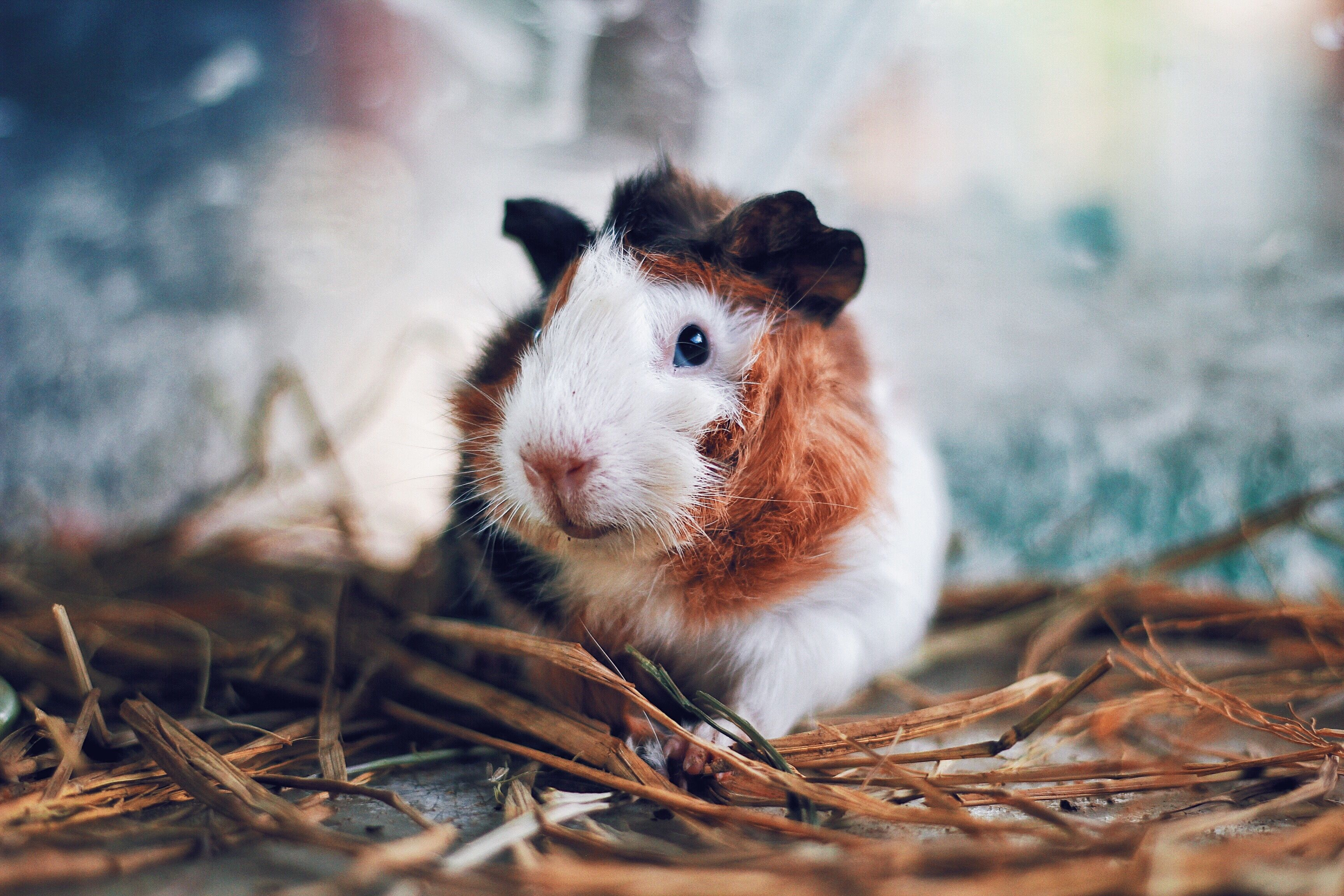 4 Types Of Guinea Pig Cages