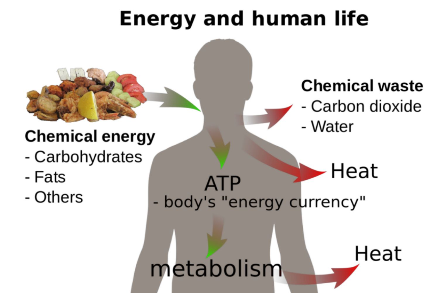 The Laws Of Thermodynamics In Biological Systems