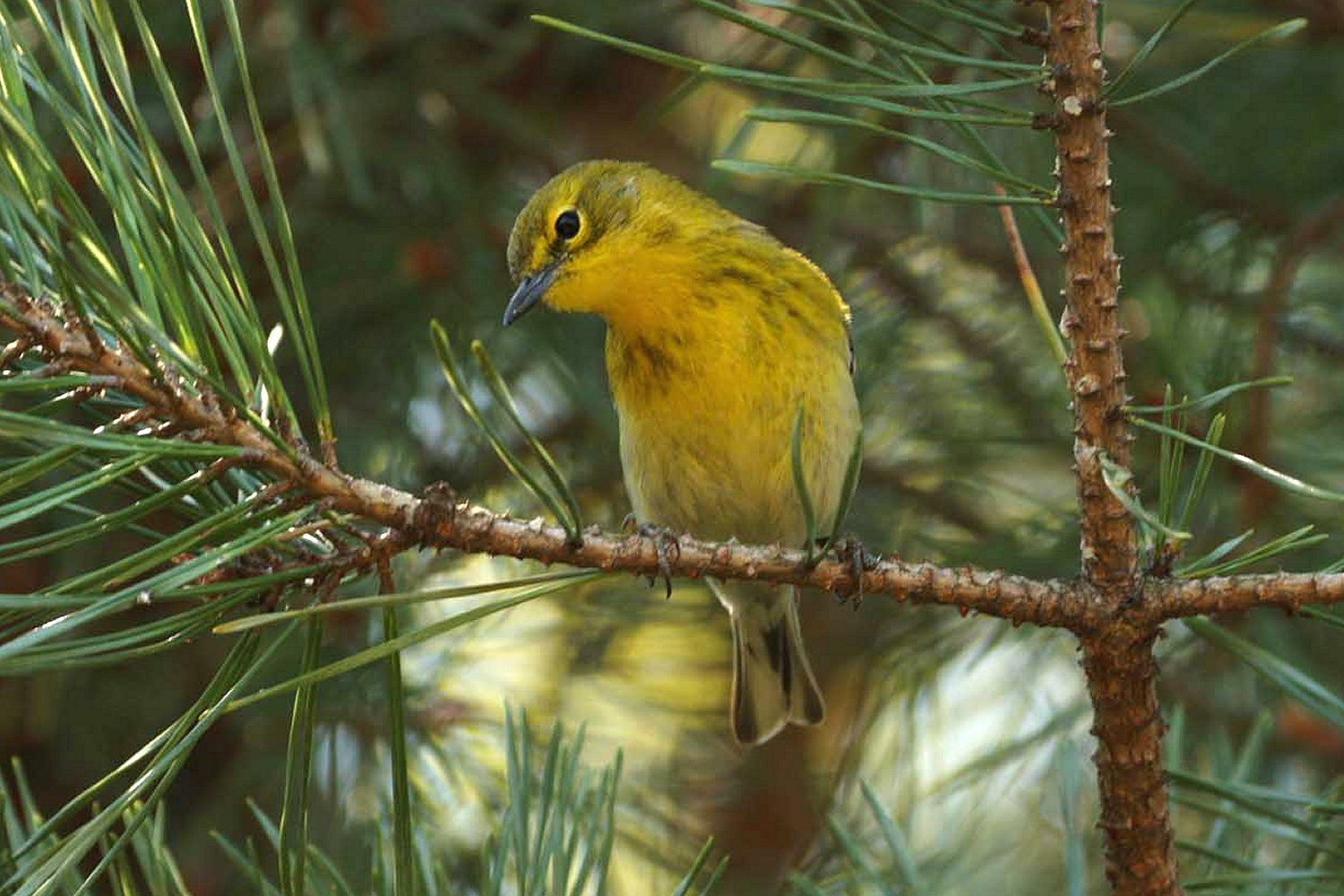 Evergreen Trees For Bird Friendly Landscaping